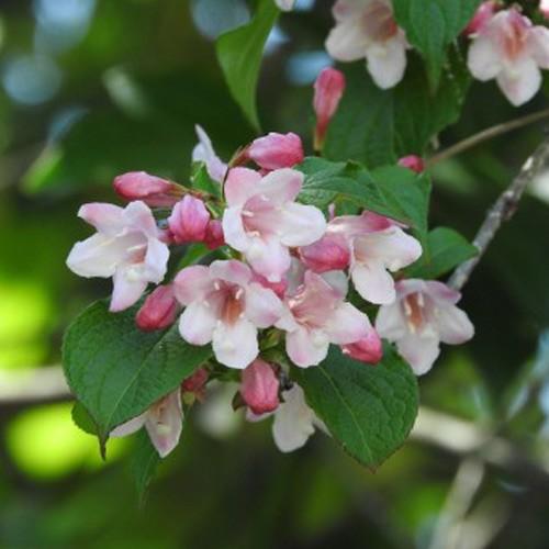 タニウツギ 樹高30〜50cm前後 10ポットセット