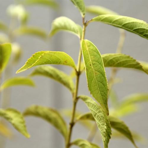 シロシキブ 樹高30〜50cm前後 10ポットセット