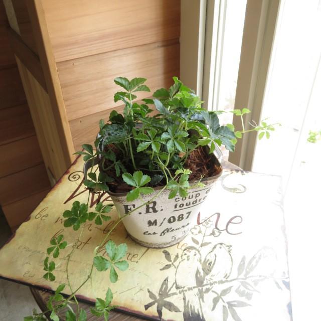 0330観葉植物 シュガーバインとアンティーク缶