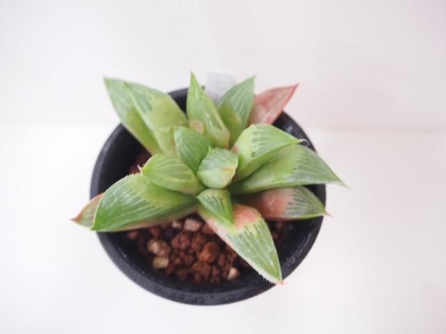 多肉植物 ハオルチア・レツーサ