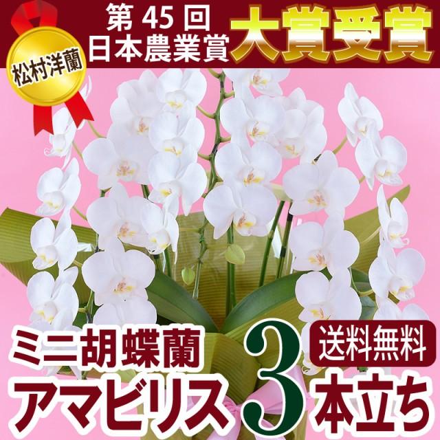ミニ胡蝶蘭 白 アマビリス3本立【送料無料】