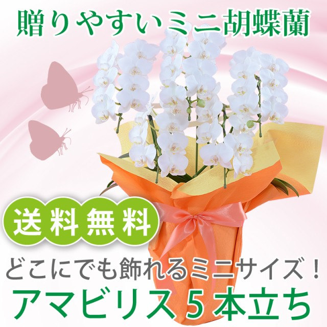 ミニ胡蝶蘭 白 アマビリス5本立【送料無料】