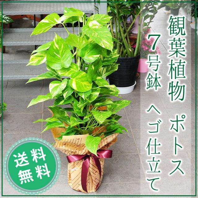 ポトス 7号鉢 観葉植物 へゴ仕立て【送料無料】