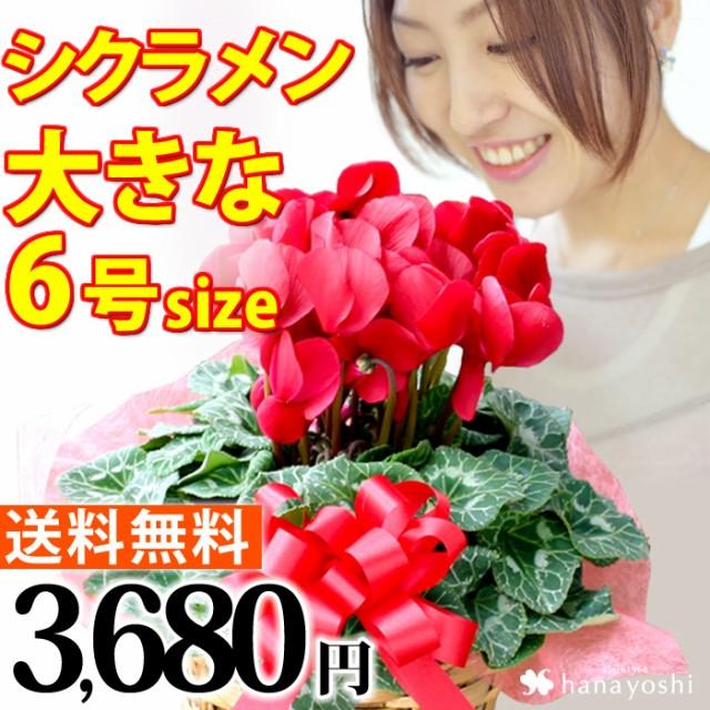 シクラメン 鉢植えお歳暮・クリスマス 冬のフラ...