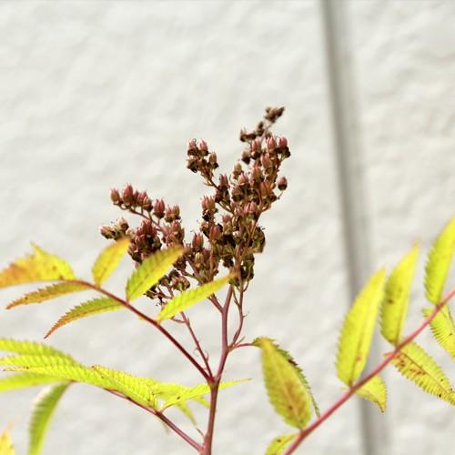 ホザキナナカマド 樹高30〜50cm前後 10ポットセッ...