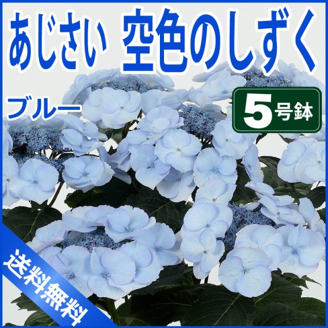 母の日限定 あじさい 空色のしずく ブルー 5号鉢 ...