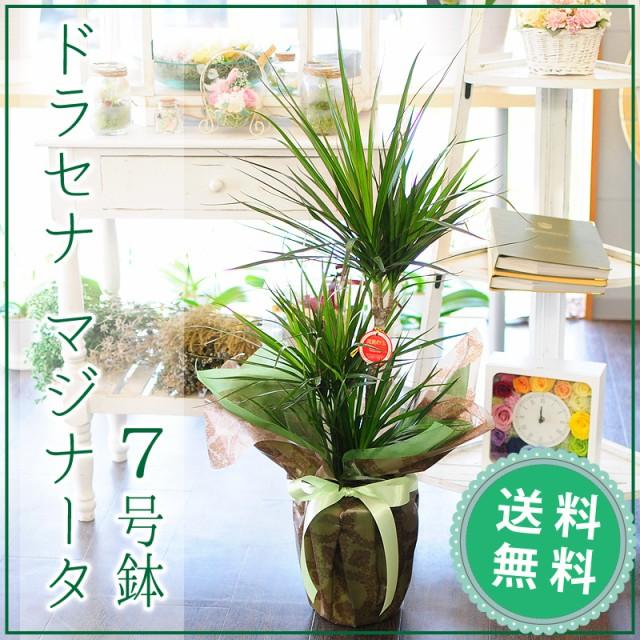 ドラセナ マジナータ 真実の木 コンシンネ 7号鉢 ...