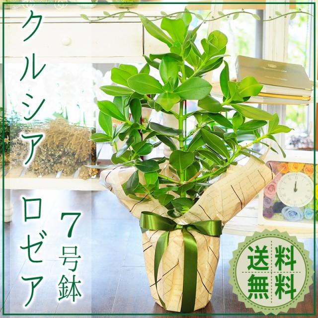クルシア ロゼア 7号鉢 ゴムの木に似た観葉植物【...