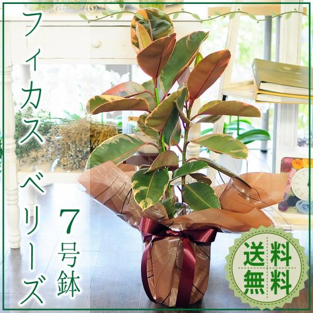 フィカス ベリーズ 7号鉢 ゴムの木 観葉植物【送...