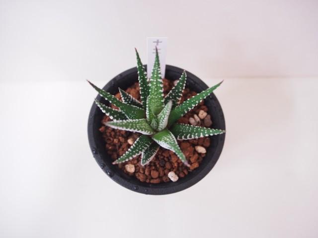 多肉植物 ハオルチア・十二の巻 ゼブラ 硬葉系