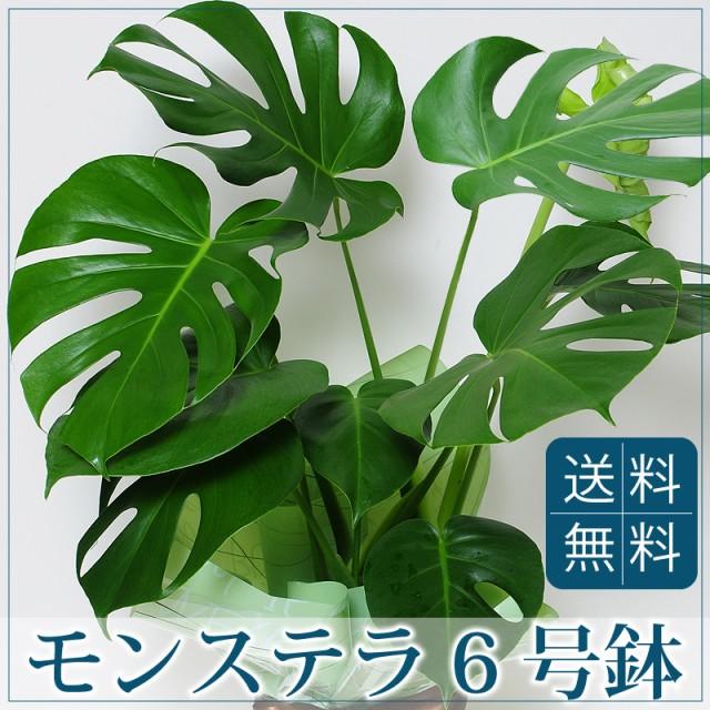 モンステラ 6号鉢 観葉植物 鉢【送料無料】
