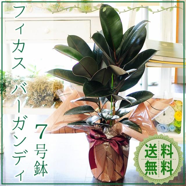 フィカス バーガンディ 7号鉢 ゴムの木 観葉植物...