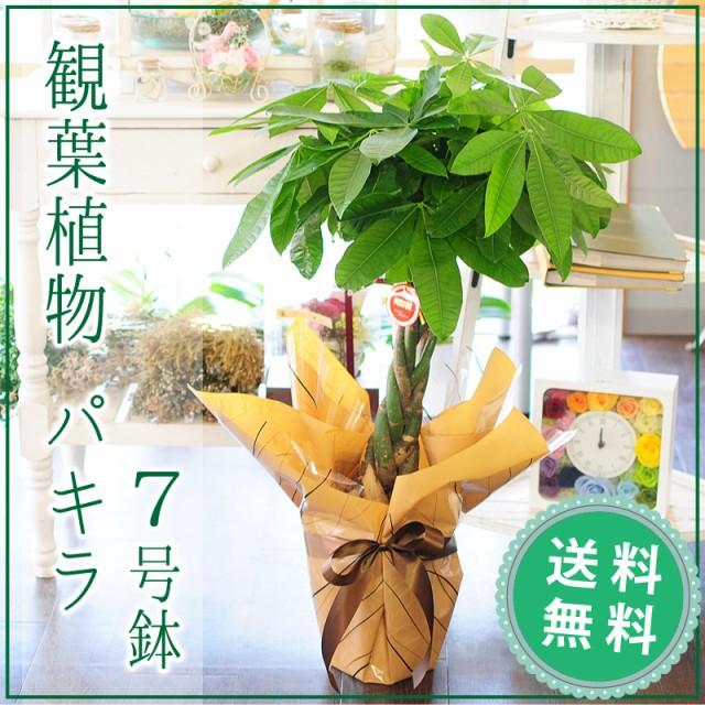 パキラ 7号鉢 観葉植物【送料無料】