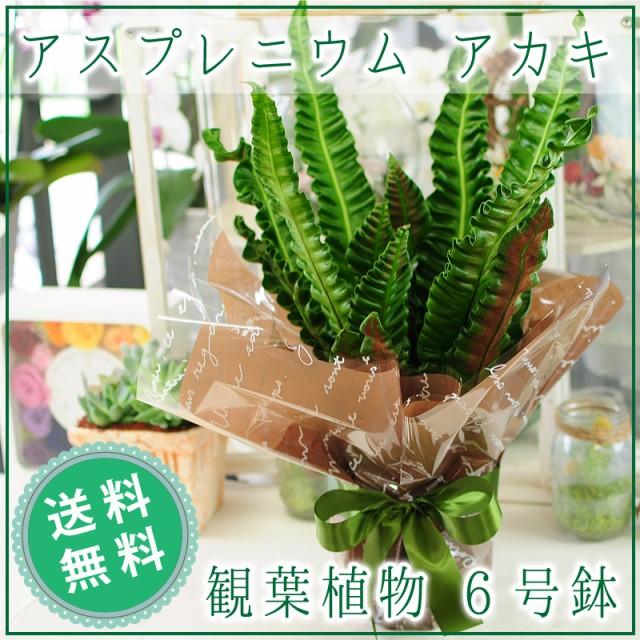 アスプレニウム プリカーツム アカキ 観葉植物 6...