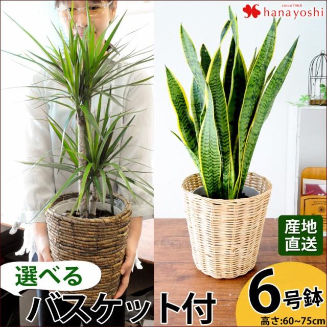 【産地直送】 観葉植物 インテリア ギフト 送料無料 選べる4種類 観葉植物6号鉢 新築祝い 誕生日