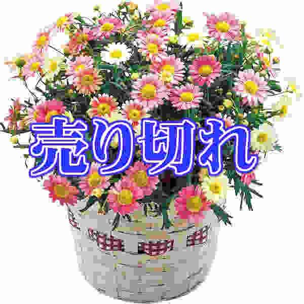 マーガレット鉢植え いちごみるく/鉢植え/母の日...