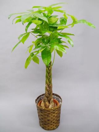 パキラ観葉植物