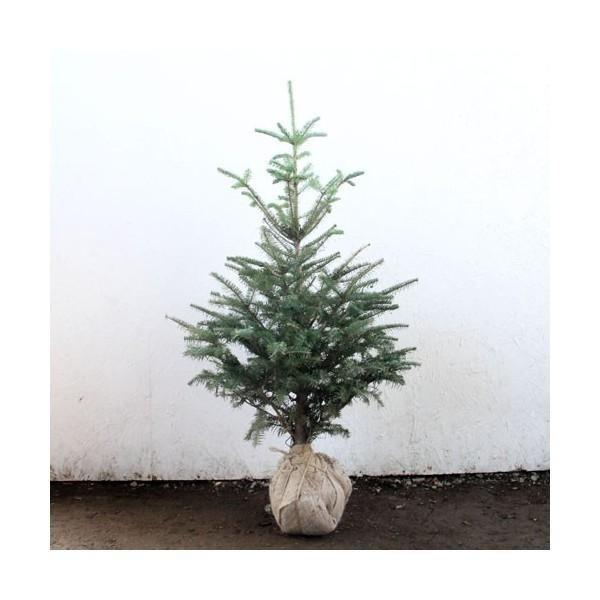 もみの木 (ウラジロモミ) 樹高1.0m前後 (根鉢含ま...