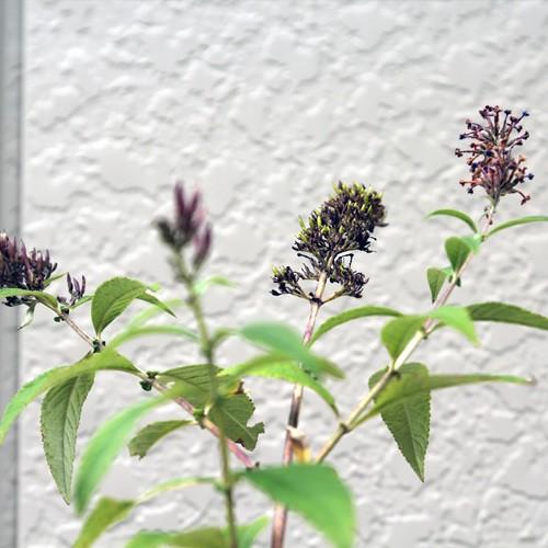 ブッドレア 紫花 樹高30〜50cm前後 10ポットセッ...