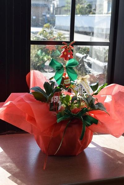クリスマスプレゼント鉢花 信楽鉢入り