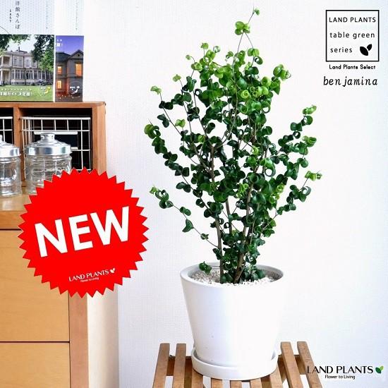 new!! ベンジャミン・バロック 白色デザイン陶器鉢に植えた フィカス・ベンジャミナ ベンジャミンバロック