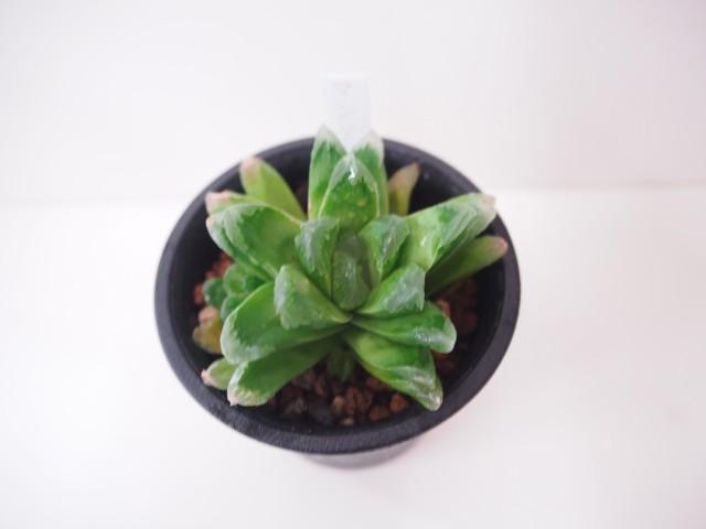 多肉植物 ハオルチア・マンデリー