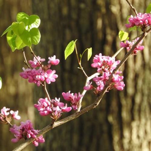 ハナズオウ 樹高30〜50cm前後 10ポットセット