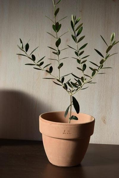 オリーブ鉢植え イタリア製テラコッタ鉢入り【観...