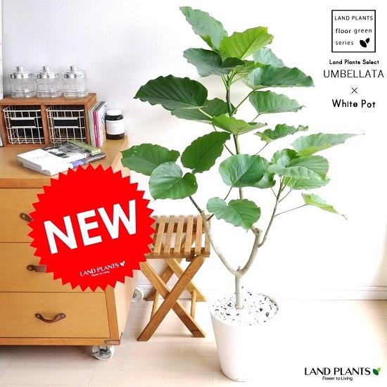New!! ハートリーフ ウンベラータ 白セラアート鉢に植えた フィカス・ウンベラータ 美しい樹形♪ 割れない鉢