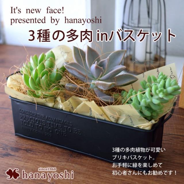 3種の多肉植物 in ブリキバスケット〜ラッピング...
