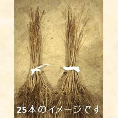 シラカバ はだか苗 樹高60cm前後 100本セット
