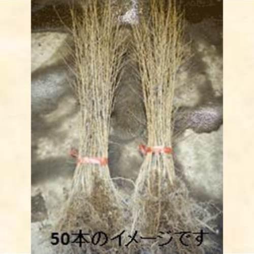 エゾヤマザクラ はだか苗 樹高80cm前後 100本セッ...