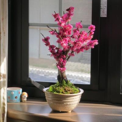 紅梅盆栽 2018年2月頃開花 梅盆栽