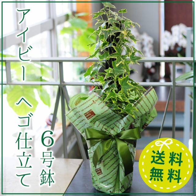 アイビー(ヘデラ)へゴ仕立て 6号鉢 観葉植物 鉢...