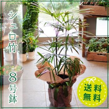 シュロ竹 8号鉢 シュロチク 棕櫚竹 観葉植物【送...