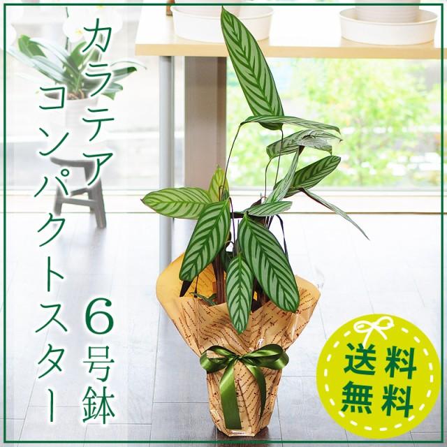 カラテア コンパクトスター 6号鉢 観葉植物 鉢【...