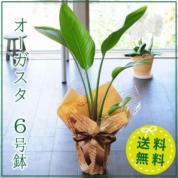 オーガスタ 観葉植物 6号鉢 ストレリチア オーガ...