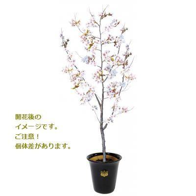 生花記念樹 醍醐の不動明王祈祷桜 「来幸桜」 247...