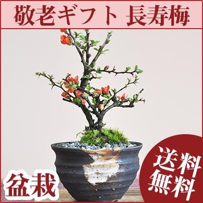【敬老の日 盆栽】【長寿梅のミニ盆栽 敷板付き ...