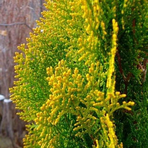 コノテガシワ エレガンテシマ 樹高1.2m前後 単品