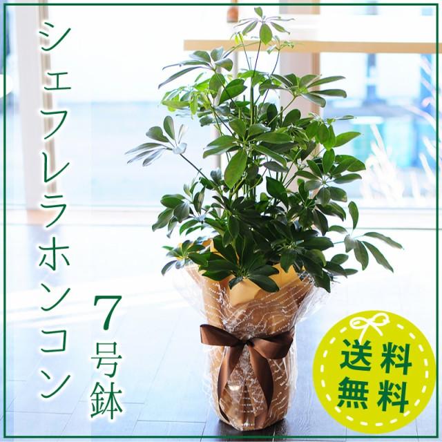 シェフレラホンコン 7号鉢 観葉植物 シェフレアホ...