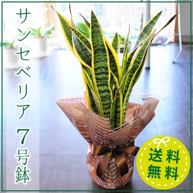 サンセベリア 7号鉢 観葉植物 サンスベリア サン...