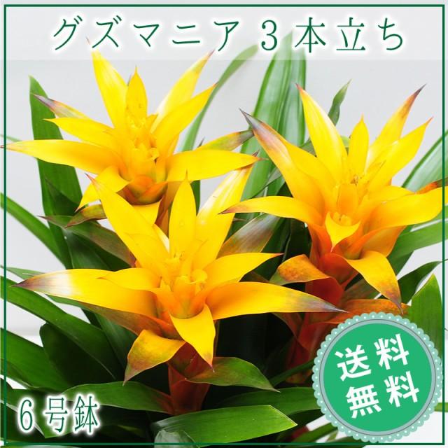 グズマニア 3本立ち 6号鉢 観葉植物 【送料無料】...