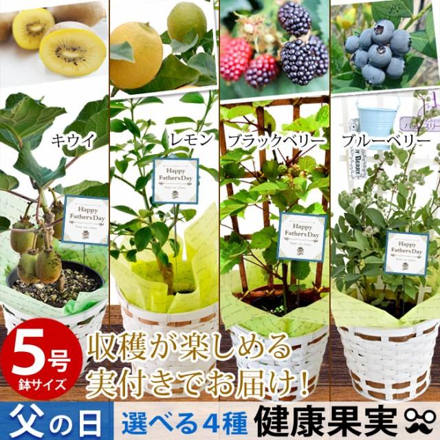 父の日 ギフト 選べる4種類の果樹5号鉢 ブルーベリー キウイ ブラックベリー レモン(実付き)の鉢植え〜バスケット付き!