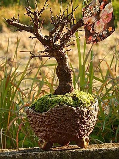 咲き分け 思いのまま梅盆栽