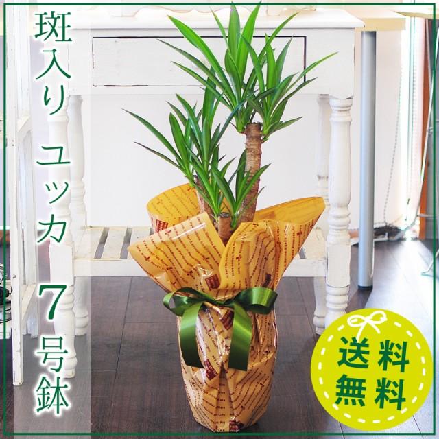 ユッカ エルミラ 7号鉢 観葉植物 斑入りユッカ 青...