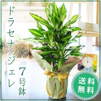 ドラセナ ジェレ 7号鉢 観葉植物【送料無料】
