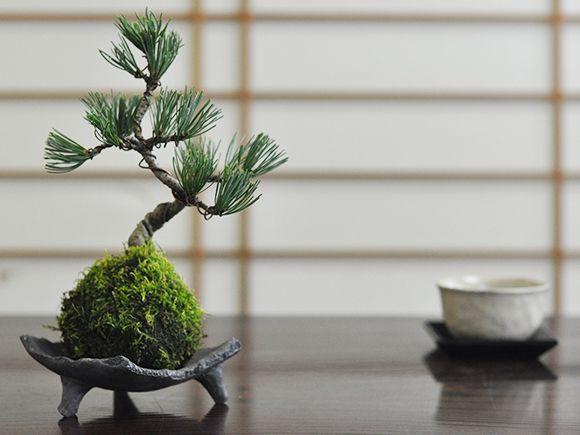 五葉松の苔玉【盆栽 ミニ盆栽 bonsai ボンサイ ぼ...