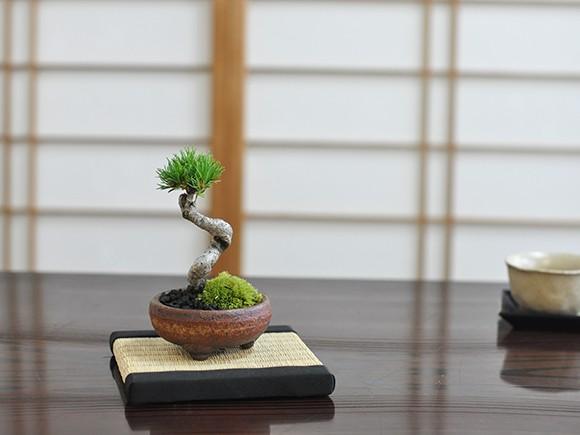 盆栽 九重五葉松【ミニ盆栽 bonsai ぼんさい ごよ...