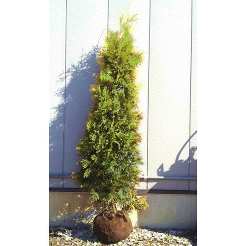 ヨーロッパゴールド 樹高1.0m前後 4本セット